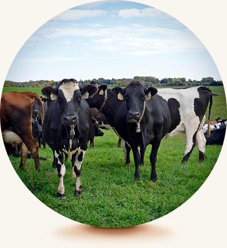 Saxon Cows